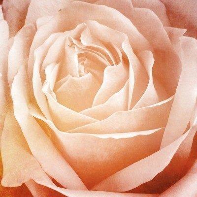 Rose, Pale Pink