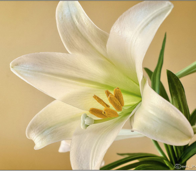 Easter_Lily2